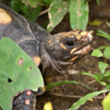 Chelonoidis carbonaria<br /> Jabuti-piranga<br /> Red-footed tortoise<br /> Tortuga-terrestre-de-patas-rojas