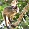 Sapajus cay<br /> Macaco-prego-do-papo-amarelo<br /> Hooded Capuchin<br /> Mono capuchino de Azara