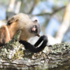 Mico melanurus<br /> Sagui-de-cauda-preta<br /> Black-taylored-marmoset<br /> Tití de cola negra