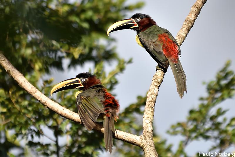 Pteroglossus castanotis<br /> Araçari-castanho<br /> Chestnut-eared Aracari<br /> Arasarí fajado - Tukâ sa'yju