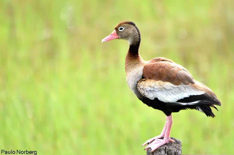 Dendrocygna autumnalis<br /> Marreca-de-asa-branca<br /> Black-bellied Whistling-Duck<br /> Pato silbón ala blanca - Ype suiriri pepotî