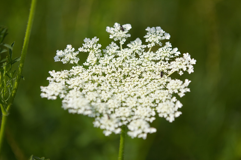 Queen Anne's Lace. Capture the Light Photography, Point Gratiot, Dunkirk, NY.