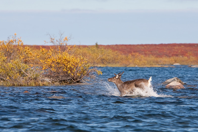 A young caribou makes a dash across the water