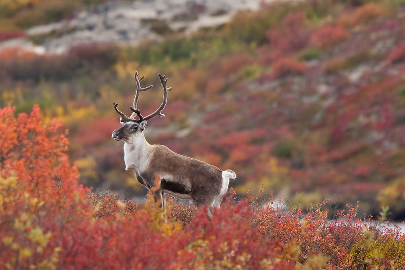 Barren-ground Caribou<br /> Category winner, Alberta Institute for Wildlife Conservation photo contest