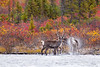 Caribou shaking water off after a good swim