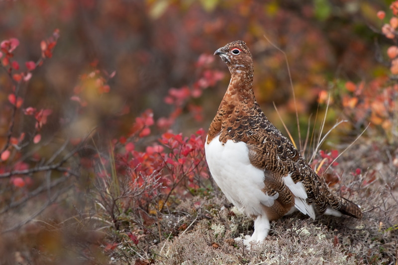 Rock Ptarmigan<br /> Second place, Alberta Institute for Wildlife Conservation photo contest