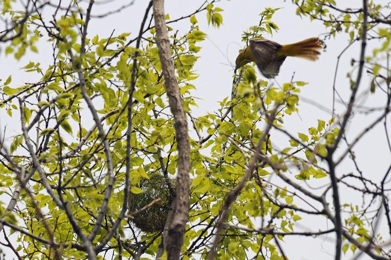 Blue-winged warbler flying to nest