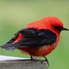 Scarlet tanager 3