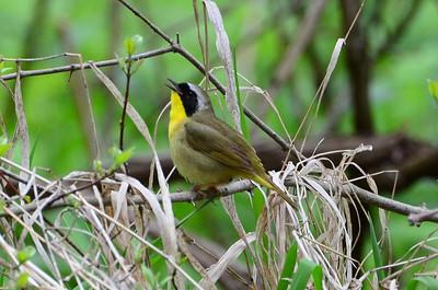 Common yellowthroat (2)