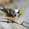 Chestnut-sided warbler 5