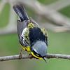 Magnolia warbler 5