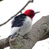 Red-headed woodpecker 2