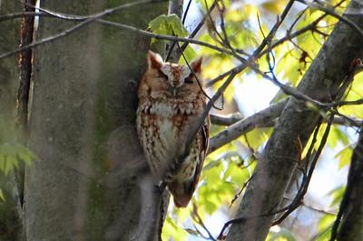 Eastern screech owl 2