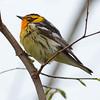 Blackburnian warbler 5