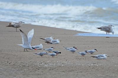 Caspian & Common tern