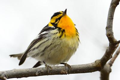 Blackburnian warbler 4