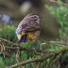 "Palm Warbler<br /> Mendoza,""B"" Ranch, Point Reyes, CA<br /> November 15, 2012"