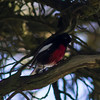 "Painted Redstart<br /> Mendoza,""B"" Ranch, Point Reyes, CA<br /> November 14, 2012"
