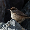Rock Wren<br /> Ferry Point, Pt. Richmond, CA<br /> February 7, 2013