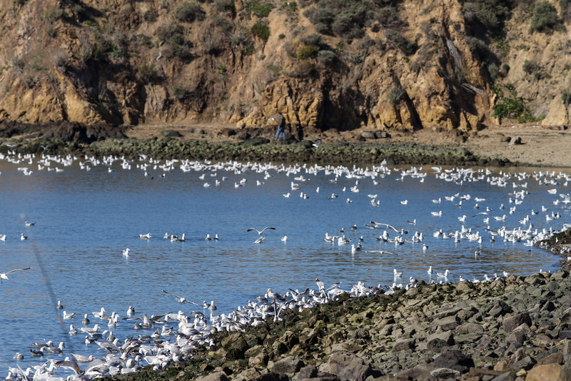 Gulls feeding on Herring eggs(?) Pt. Molate, Richmond, CA<br /> February 20. 2013