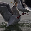 Slaty-backed Gull and Glaucous-winged Gull<br /> Ferry Point, Richmond, CA<br /> Feb 16, 2013