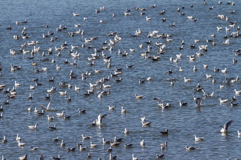 Gulls feeding on Herring eggs(?) Pt. Molate, Richmond, CA<br /> February 20. 2013