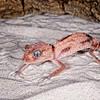 Knob Tail Gecko, Australia