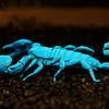 Emperor Scorpion, Africa