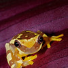 Hourglass Frog, Amazon Basin