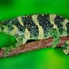 Mellers Chameleon, Africa