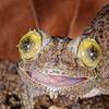 Mossy Leaf Tail Gecko, Madagascar