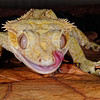 Crested Gecko, New Caledonia
