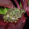 Vietnamese Mossy Frog