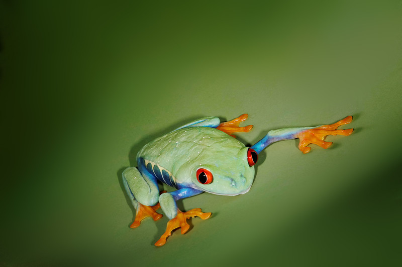 Redeyed Tree Frog, Central America