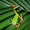 Tiger Leg Monkey Frog (Amazon Basin)
