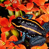 Three Strip Dart Frog
