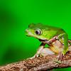 Giant Monkey Frog, Amazon Basin