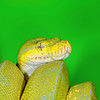 Green Tree Python, Australia
