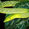 Asian Vine Snake, Vietnam