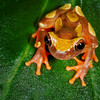 Clown Frog, Amazon Basin