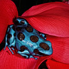 Costa Rican Green and Black Dart Frog