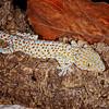 Tokay Gecko, SE Asia