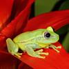 Glass Frog, Surinam