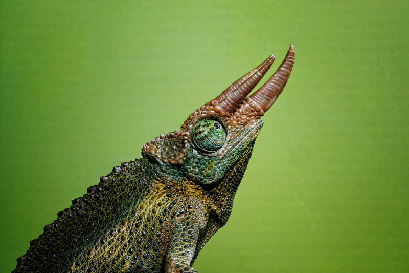 Jackson's Chameleon (Kenya and Tanzania in East Africa)