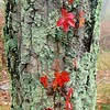Virginia-creeper (Parthenocissus quinquefolia) red