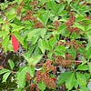 Virginia Creeper flowering