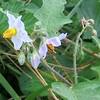 Horse-nettle (Solanum carolinense) flower
