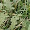 Horse-nettle Solanum carolinense fruit