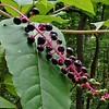 Pokeweed (Phytolacca americana) fruit