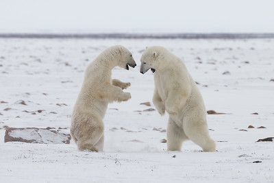 Polar bear sparring match